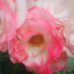 ハートの多次元的開花・愛のエロヒム